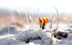 flower_under_snow_spring_20140127_1318698541